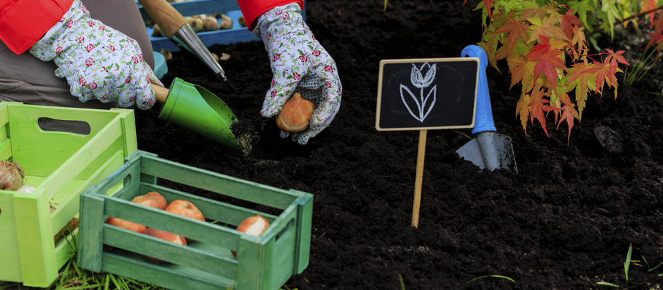 , Planting Spring Flowering Bulbs – FAQ, Redwood Nursery & Garden Center, Redwood Nursery & Garden Center