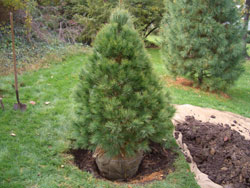 , Planting a Live Christmas Tree, Redwood Nursery & Garden Center