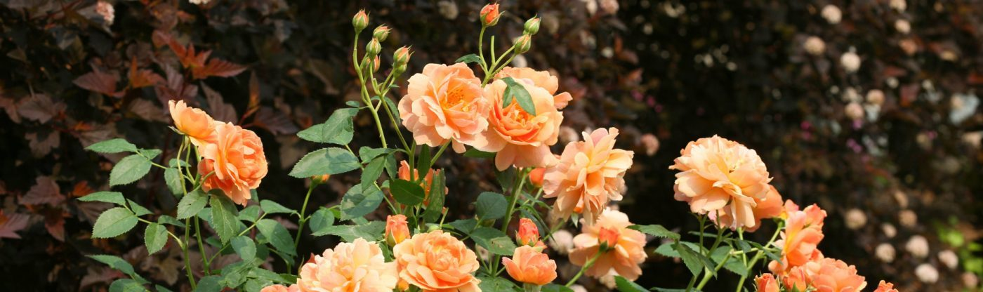 , An Easier Approach To Roses, Redwood Nursery & Garden Center