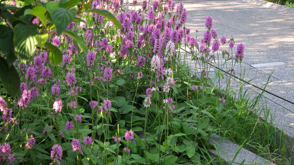 , 2019 Perennial Plant of the Year – Stachys 'Hummelo', Redwood Nursery & Garden Center