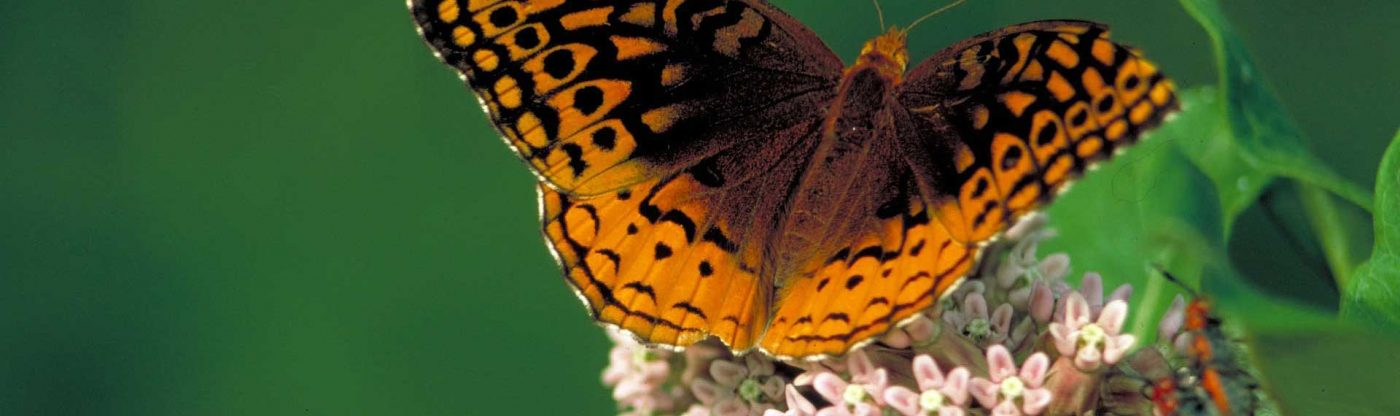 , Got Milkweed? Butterflies love this plant and you should too!, Redwood Nursery & Garden Center