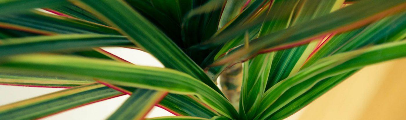 , Houseplant of the Month: Dracena Marginata, Redwood Nursery & Garden Center