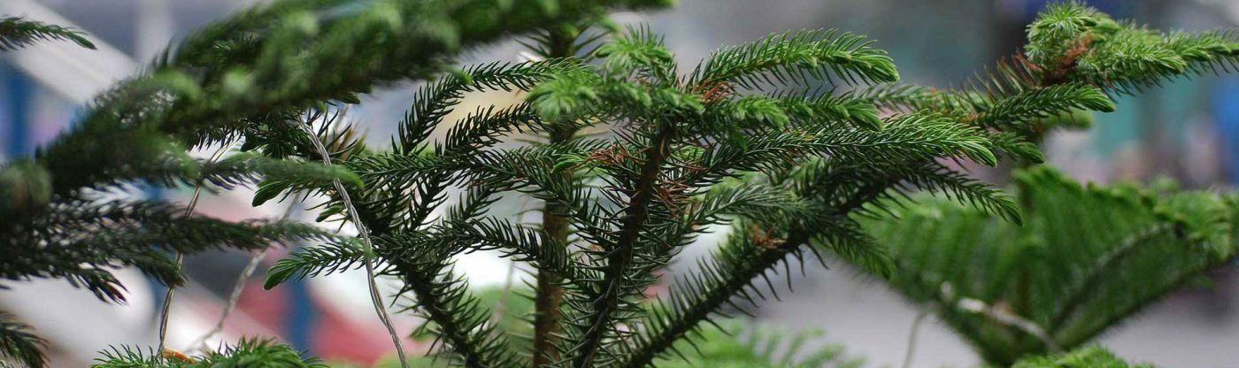 , Houseplant of the Month: Norfolk Island Pine, Redwood Nursery & Garden Center, Redwood Nursery & Garden Center