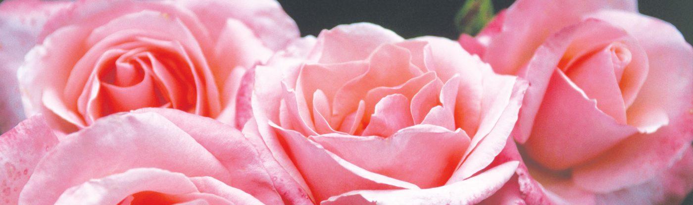 , Preparing Your Roses For Winter, Redwood Nursery & Garden Center