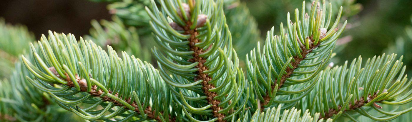 , Christmas Tree Care, Redwood Nursery & Garden Center