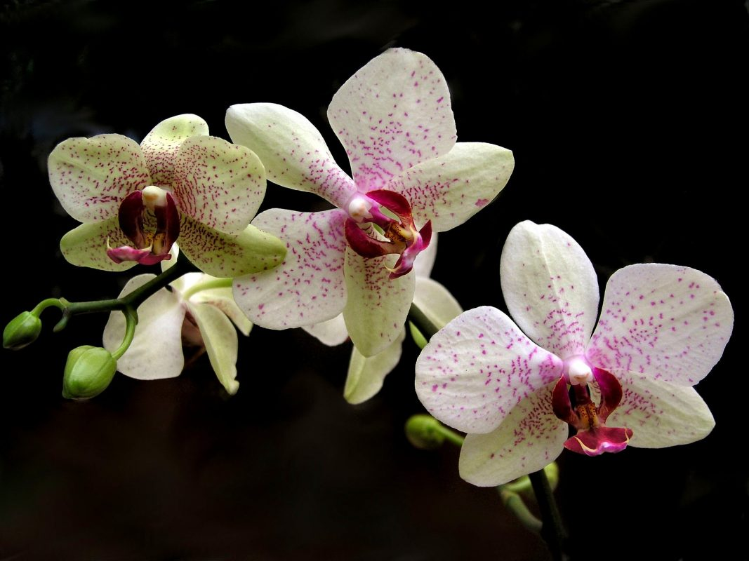 , Houseplant of the Month: Phalaenopsis Orchid, Redwood Nursery & Garden Center, Redwood Nursery & Garden Center