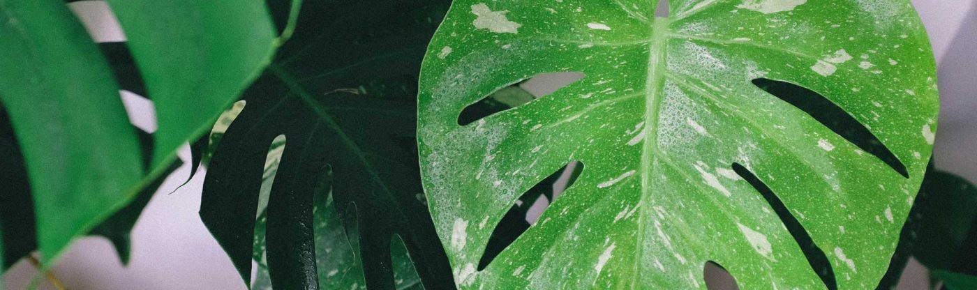 , Houseplant of the Month: Monstera Deliciosa, Redwood Nursery & Garden Center, Redwood Nursery & Garden Center