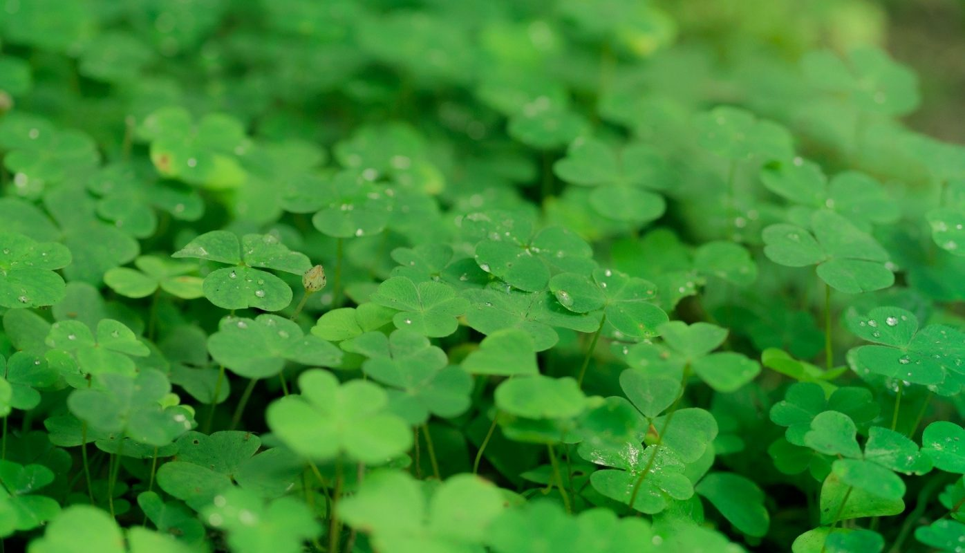 , Houseplant of the Month: Shamrock, Redwood Nursery & Garden Center, Redwood Nursery & Garden Center