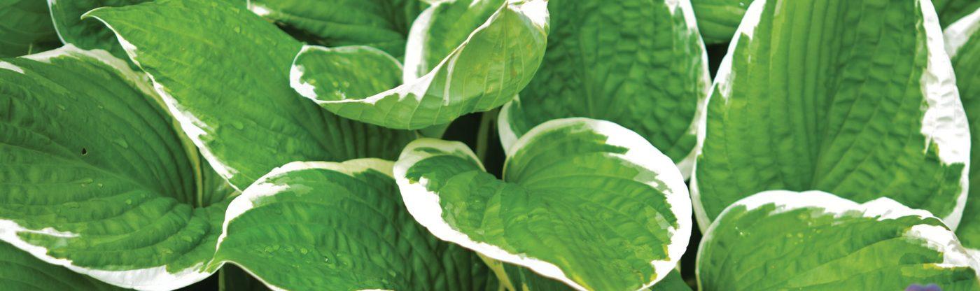 , Perennial of the Month: Hosta, Redwood Nursery & Garden Center, Redwood Nursery & Garden Center