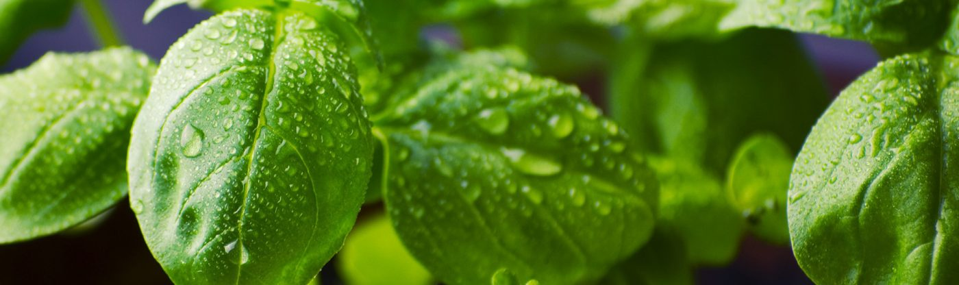 , How to Prune Basil Plants, Redwood Nursery & Garden Center, Redwood Nursery & Garden Center