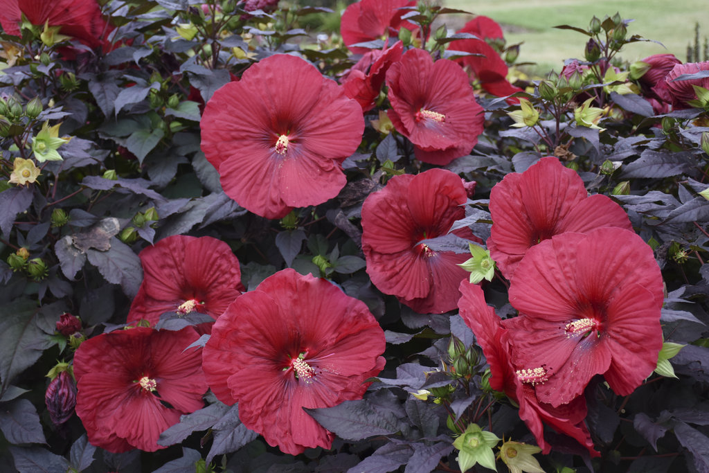 , Perennial of the Month: Hardy Hibiscus, Redwood Nursery & Garden Center, Redwood Nursery & Garden Center