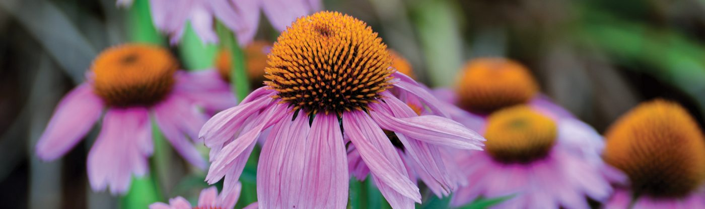 , Perennial of the Month: Coneflower, Redwood Nursery & Garden Center, Redwood Nursery & Garden Center
